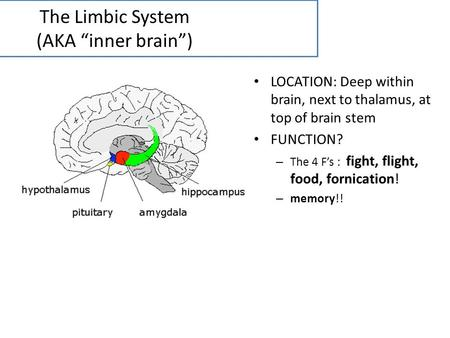 The Limbic System (AKA inner brain) LOCATION: Deep within brain, next to thalamus, at top of brain stem FUNCTION? – The 4 Fs : fight, flight, food, fornication!