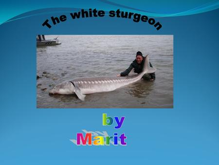Down the Upper Columbia River live white sturgeon. This is the story of a little Sturgeon and how it lived. Once there was a big mom sturgeon. It was.