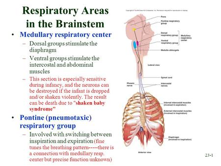 23-1 Respiratory Areas in the Brainstem Medullary respiratory center –Dorsal groups stimulate the diaphragm –Ventral groups stimulate the intercostal and.