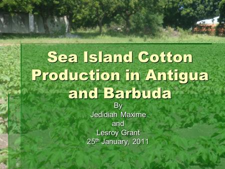 Sea Island Cotton Production in Antigua and Barbuda
