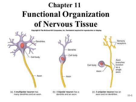 11-1 Functional Organization of Nervous Tissue Chapter 11.