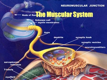 The Muscular System. bundle of muscle fibers muscle fiber (cell) myofibril sarcomere Gross Anatomy of Skeletal Muscle.