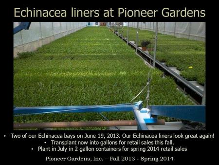 Echinacea liners at Pioneer Gardens Pioneer Gardens, Inc. – Fall 2013 - Spring 2014 Two of our Echinacea bays on June 19, 2013. Our Echinacea liners look.