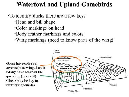 Waterfowl and Upland Gamebirds To identify ducks there are a few keys Head and bill shape Color markings on head Body feather markings and colors Wing.
