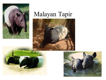 Malayan Tapir. What is a Malayan Tapir? A Malayan Tapir is a mammal thats relatives are the horse and rhinoceros. Malayans are incredibly endangered.