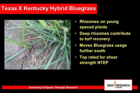 Improving Turfgrass Through Research Texas X Kentucky Hybrid Bluegrass Rhizomes on young spaced plants Deep rhizomes contribute to turf recovery Moves.