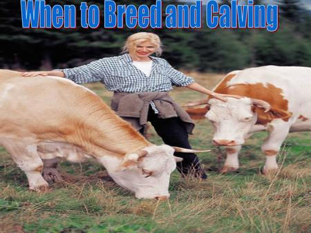 When To breed Heifers Size- #1 consideration when breeding yearling heifers. Size- #1 consideration when breeding yearling heifers. Heifers should weigh.