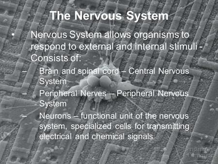 The Nervous System Nervous System allows organisms to respond to external and internal stimuli - Consists of: –Brain and spinal cord – Central Nervous.