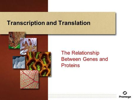 Transcription and Translation The Relationship Between Genes and Proteins.