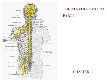 THE NERVOUS SYSTEM PART 1 CHAPTER 11.