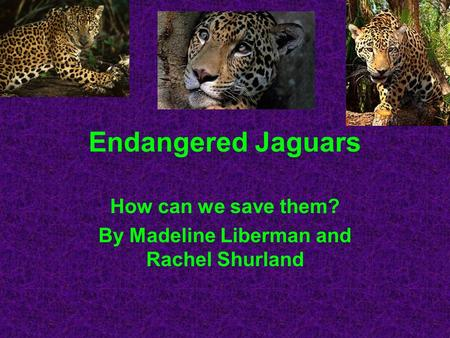 Endangered Jaguars How can we save them? By Madeline Liberman and Rachel Shurland.
