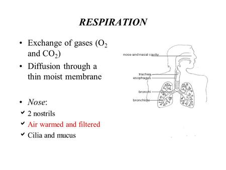 RESPIRATION Exchange of gases (O 2 and CO 2 ) Diffusion through a thin moist membrane Nose: 2 nostrils Air warmed and filtered Cilia and mucus.