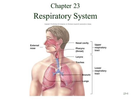 23-1 Chapter 23 Respiratory System. 23-2 Respiration Ventilation: Movement of air into and out of lungs External respiration: Gas exchange between air.