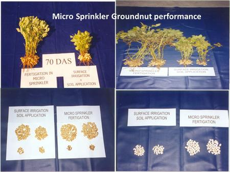 Micro Sprinkler Groundnut performance. Micro sprinkler in onion.