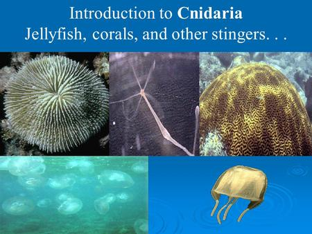Introduction to Cnidaria Jellyfish, corals, and other stingers...