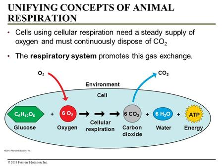 UNIFYING CONCEPTS OF ANIMAL RESPIRATION Cells using cellular respiration need a steady supply of oxygen and must continuously dispose of CO 2 The respiratory.