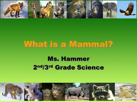What is a Mammal? Ms. Hammer 2 nd /3 rd Grade Science Ms. Hammer 2 nd /3 rd Grade Science.