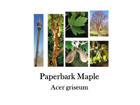 Paperbark Maple Acer griseum. Japanese Maple Acer palmatum.