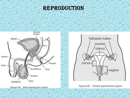 Reproduction. Role of hormones in the menstrual cycle, including FSH (follicule stimulating hormone), LH (luteinizing hormone), estrogen and progesterone.