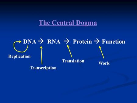 The Central Dogma DNA  RNA  Protein  Function Replication