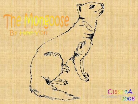 The Mongoose is a small, meat-eating mammal with a sleek body. The Mongoose is well known for its ability to kill snakes. Their scientific name is Cynictis.