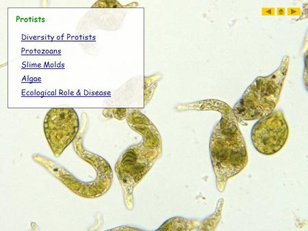 Protists Diversity of Protists Protozoans Slime Molds Algae Ecological Role & Disease.