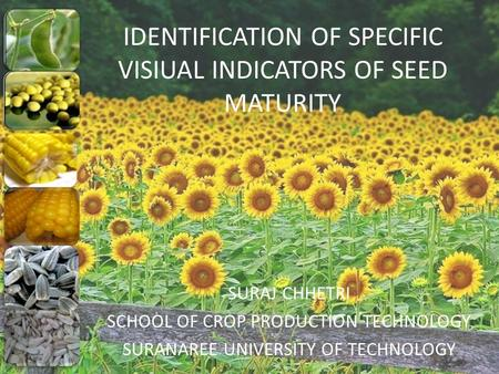 IDENTIFICATION OF SPECIFIC VISIUAL INDICATORS OF SEED MATURITY SURAJ CHHETRI SCHOOL OF CROP PRODUCTION TECHNOLOGY SURANAREE UNIVERSITY OF TECHNOLOGY.