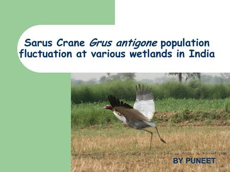 Sarus Crane Grus antigone population fluctuation at various wetlands in India BY PUNEET.