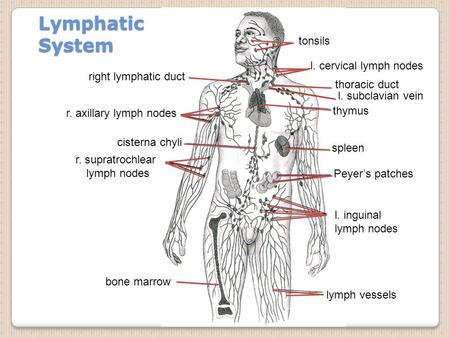 Lymphatic System tonsils l. cervical lymph nodes right lymphatic duct