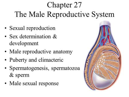 Chapter 27 The Male Reproductive System Sexual reproduction Sex determination & development Male reproductive anatomy Puberty and climacteric Spermatogenesis,