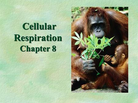 Cellular Respiration Chapter 8 Cellular Respiration Chapter 8.