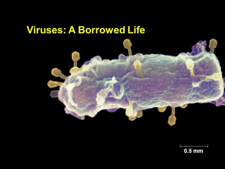 Copyright © 2005 Pearson Education, Inc. publishing as Benjamin Cummings Figure 19.1 0.5 mm Viruses: A Borrowed Life.