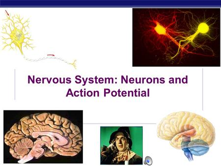 AP Biology 2007-2008 Nervous System: Neurons and Action Potential.