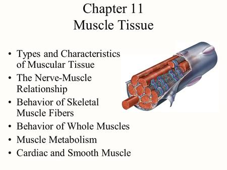 Chapter 11 Muscle Tissue Types and Characteristics of Muscular Tissue The Nerve-Muscle Relationship Behavior of Skeletal Muscle Fibers Behavior of Whole.