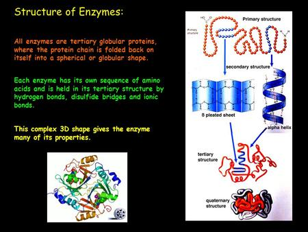 Structure of Enzymes: All enzymes are tertiary globular proteins, where the protein chain is folded back on itself into a spherical or globular shape.