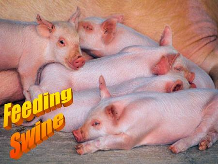 Introduction There are two main factors that determine whether a person is profitable in the swine industry 1. # of pigs weaned per sow per year 2. feed.