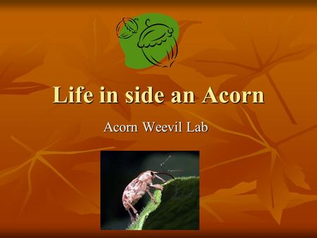 Life in side an Acorn Acorn Weevil Lab. Life inside an acorn What do you know about oak trees& acorns? What do you know about oak trees& acorns? There.