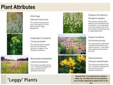 Plant Attributes 'Leggy' Plants Foxglove (Penstemon) White Sage