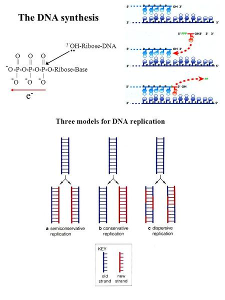 The DNA synthesis -P-O-P-O-P-O-Ribose-Base -O-O -O-O -O-O -O-O || | | | OO O 3 OH-Ribose-DNA e-e-.. Three models for DNA replication.