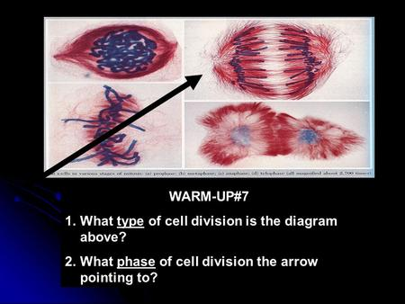 WARM-UP#7 1.What type of cell division is the diagram above? 2.What phase of cell division the arrow pointing to?