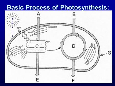 Basic Process of Photosynthesis: SunLIGHTSunLIGHT.