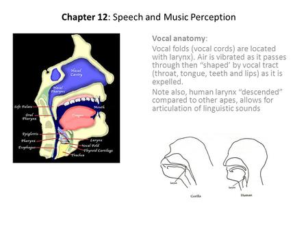 "Chapter 12: Speech and Music Perception Vocal anatomy: Vocal folds (vocal cords) are located with larynx). Air is vibrated as it passes through then ""shaped'"