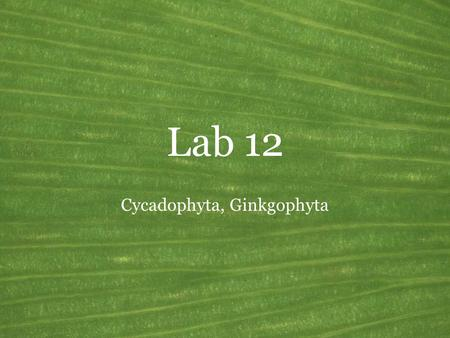 Lab 12 Cycadophyta, Ginkgophyta. Seed plants General features of the vascular plants Common name: Seed plants Synonyms: Spermatophyta Sporophyte growth.