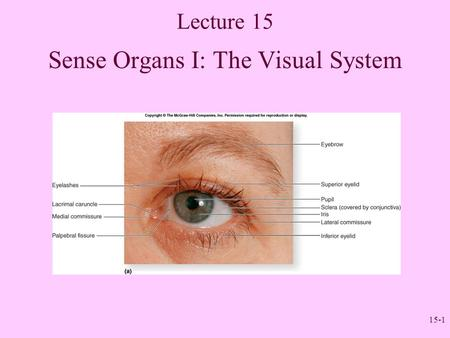 15-1 Lecture 15 Sense Organs I: The Visual System.