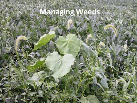 Managing Weeds. Timeliness of weed control Weeds are best controlled within the first several weeks after a crop is planted Herbicides are more effective.