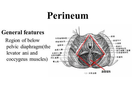 General features Region of below pelvic diaphragm(the levator ani and coccygeus muscles) Perineum anus.