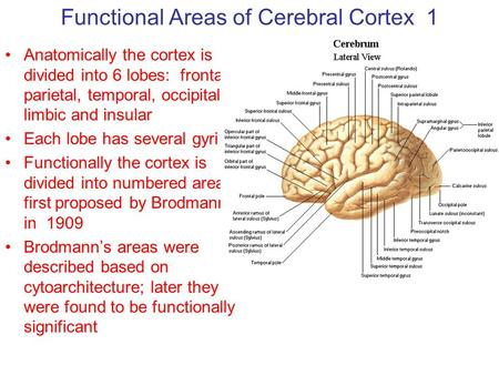 Functional Areas of Cerebral Cortex 1 Anatomically the cortex is divided into 6 lobes: frontal, parietal, temporal, occipital, limbic and insular Each.