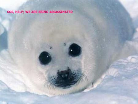 SOS, HELP; WE ARE BEING ASSASSINATED. NORWAY HAS A NEW FORM OF TOURISM, THIS IS TO ASSASSINATE BABIES SEALS TO BLOWS. CANADA IS KILLING THEM TOO.
