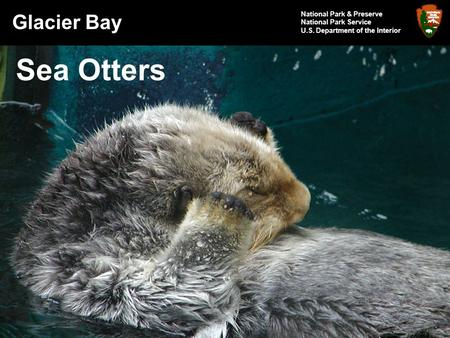 Glacier Bay National Park & Preserve National Park Service U.S. Department of the Interior Sea Otters.