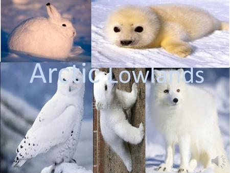 Arctic Lowlands By: hope Animals in the Arctic There are snow white arctic fox. There are snow white arctic owl. There are baby seal that lives in the.